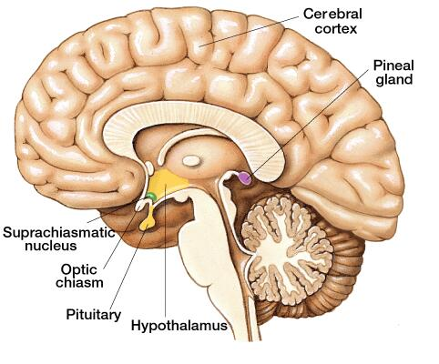 Human Brain Pineal Gland